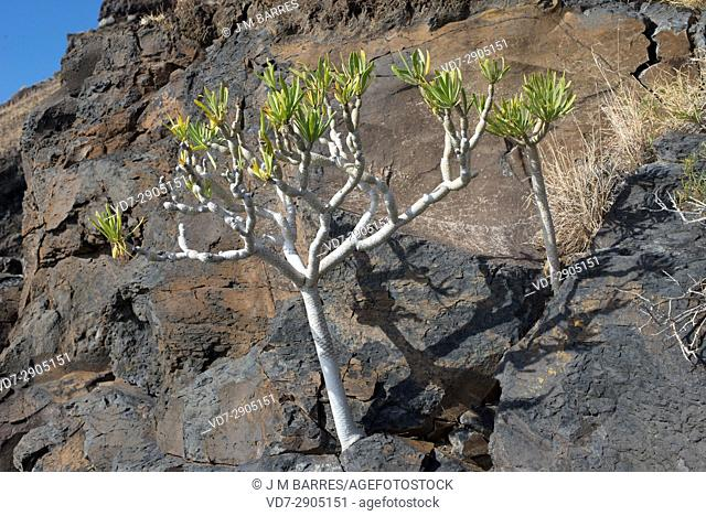 Verode, berode, verol or berol (Kleinia neriifolia) is a succulent shrub endemic of Canary Islands. This photo was taken in La Palma, Canary Islands, Spain