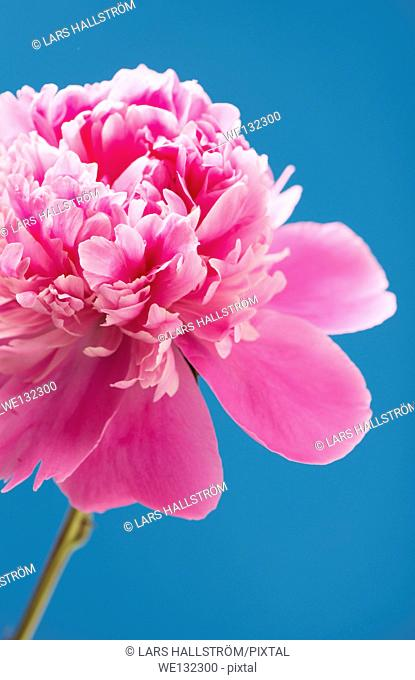 Close up of blooming pink peony flower on blue background