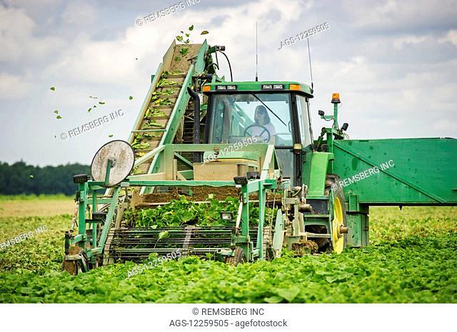 Female farmer harvesting cucumbers; Preston, Maryland, United States of America