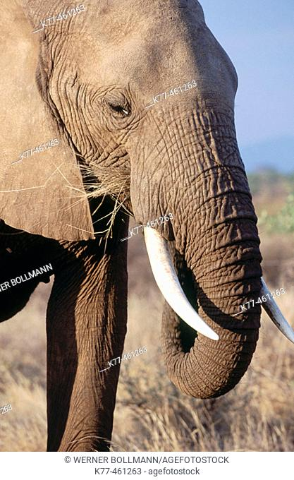 African Elephant (Loxodonta africana). Samburu National Reserve. Kenya