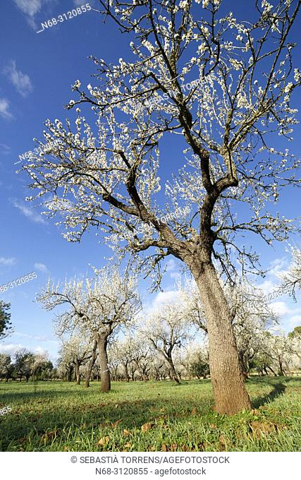 Almond trees, Bunyola, Majorca, Balearic Islands, Spain