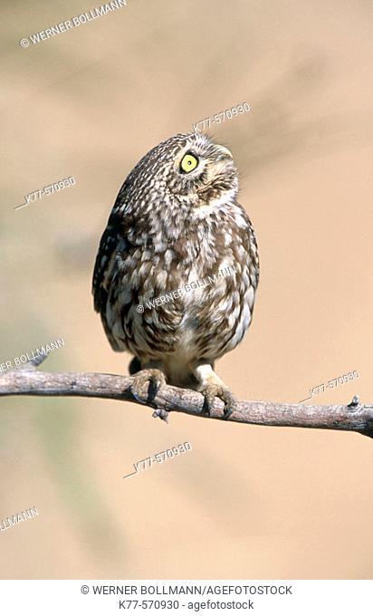 Little Owl (Athene noctua). Extremadura. Spain