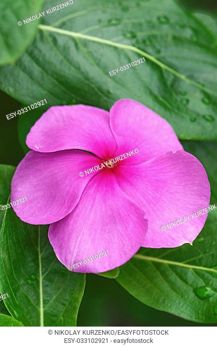 Madagascar periwinkle (Catharanthus roseus). Called Rosy periwinkle and Vinca also