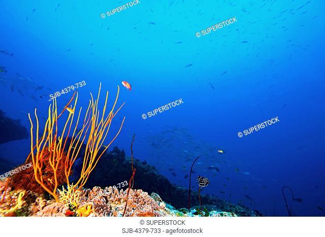 Whip coral, Ctenocella or Ellisella sp. on a reef, Felidhu Atoll, Maldives