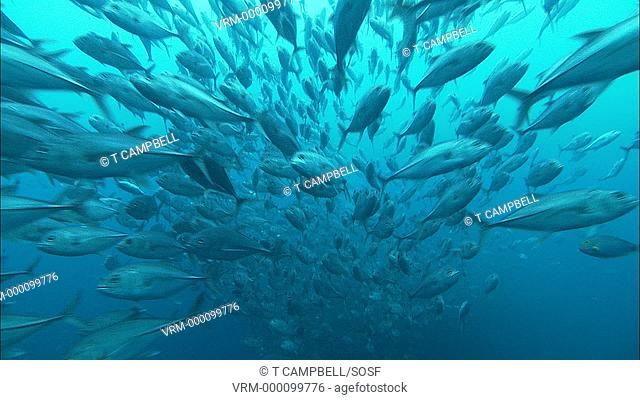 Jacks currently unidentified huge shoal streams past camera. Costa Rica