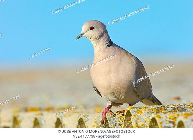 Collared Dove Streptopelia decaocto  Andalusia, Spain