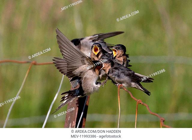 Welcome Swallow - An adult feeding a chick on the wing - Teal Valley - Nelson - New Zealand
