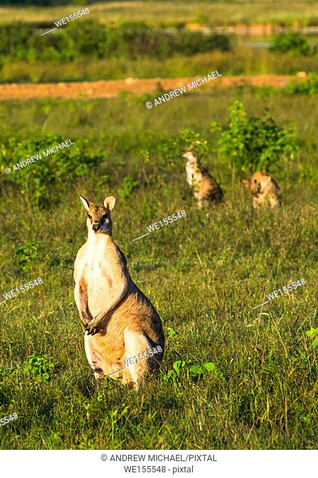 Wallabies in farmer's field near Kakadu national park, Northern territory, Australia