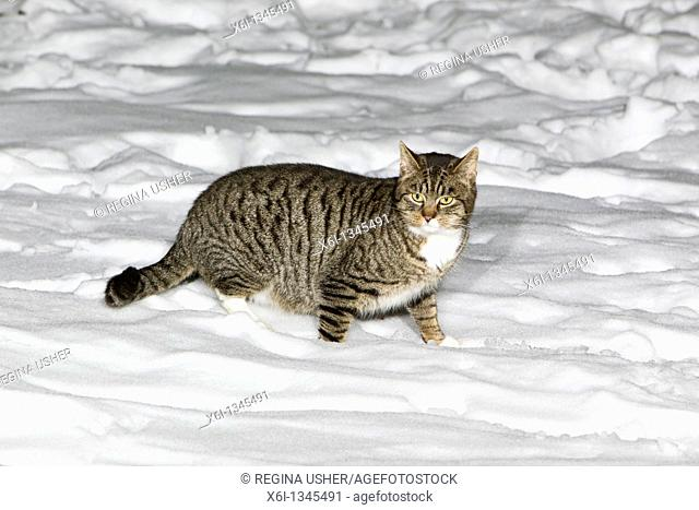 Domestic Cat, walking through snow covered garden