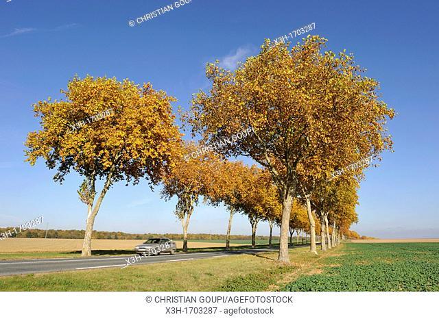 Plane tree-lined road, Eure-et-Loir department, Centre region, France