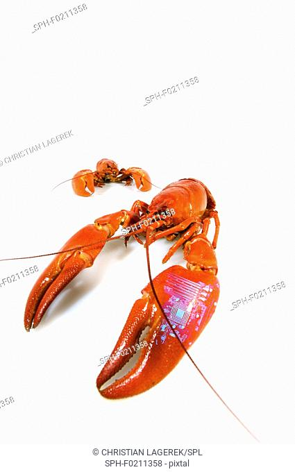 Crayfish tagged with microchip
