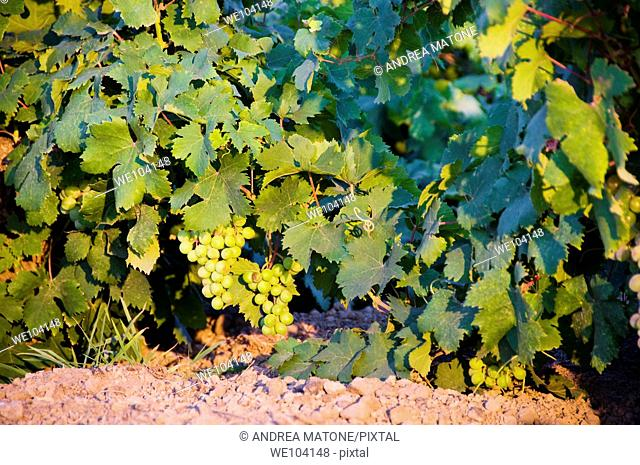 Moscato grapes known locally as Zibibbo grapes, Island of Pantelleria, Sicily, Italy