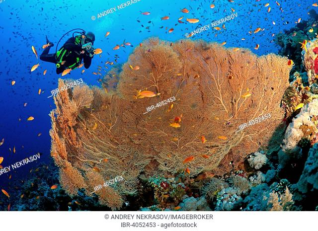 Male scuba diver photographing coral purple gorgonian sea fan (Gorgonia flabellum), Red sea, Egypt, Africa