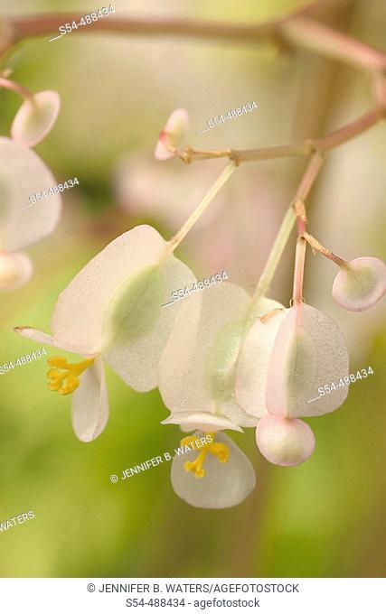 Pond Lily Begonia. Begonia x erythrophylla 'Helix'. Begoniaceae, Hybrid origin