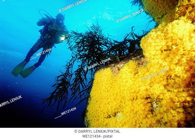 Diver and yellow zoanthids  Tasmania, Australia
