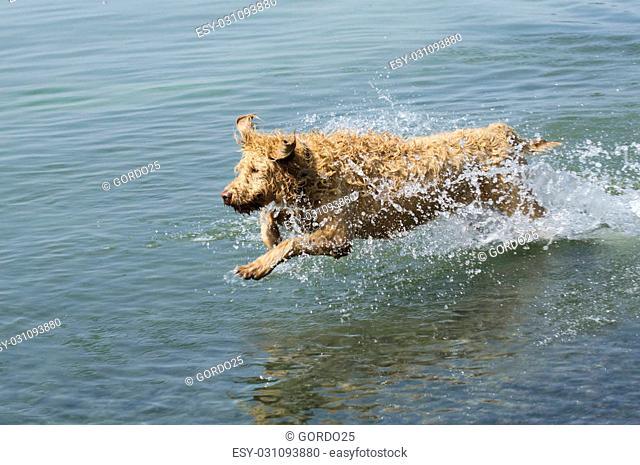 Labradoodle dog running through the water at the lake
