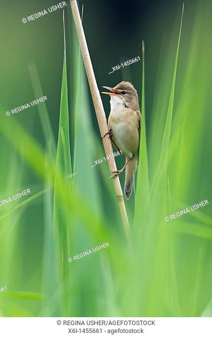 Marsh Warbler Achrocephalus palustris, perched on reed, singing, Lower Saxony Germany