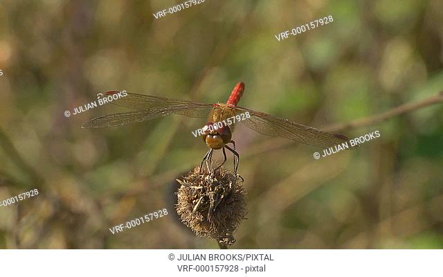 Red-veined Darter dragonfly at rest and taking off - slow motion 3