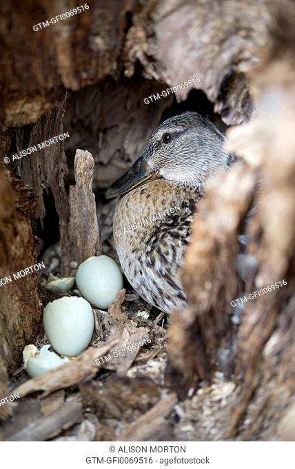 Female duck and eggs
