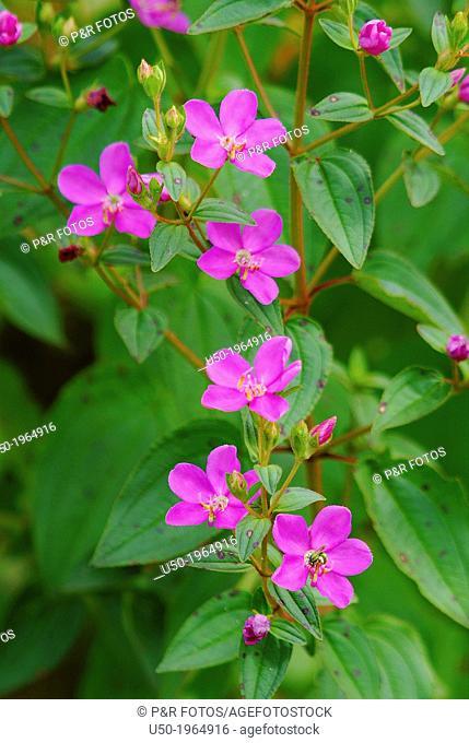 Flowers of Tibouchina sp, Melastomataceae, Angiospermae