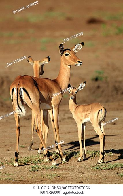 Male and young's of Impala, Aepyceros melampus