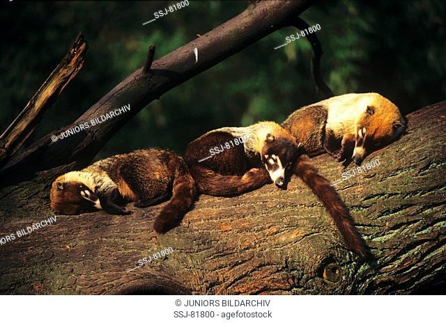 three white-nosed coatis - sleeping / Nasua narica
