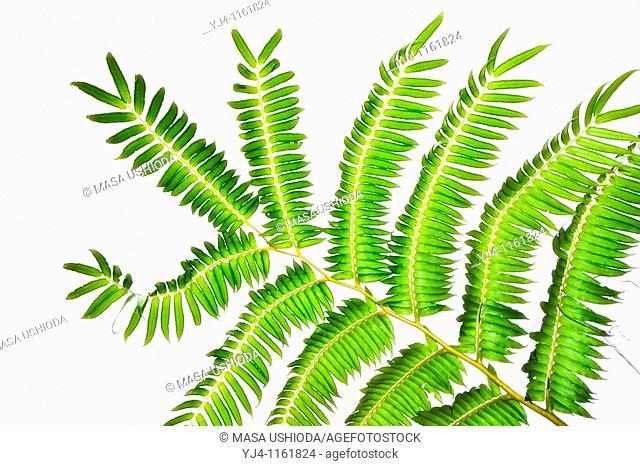 tree fern, Sadleria sp , amau in Hawaiian, Kulaniapia Falls, Hilo, Big Island, Hawaii, USA