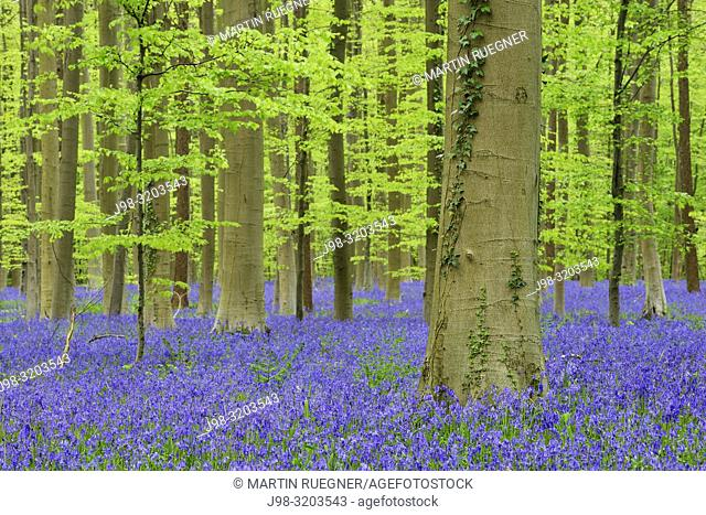 Bluebell flowers (Hyacinthoides non-scripta) carpet hardwood beech forest in early spring. Halle, Hallerbos, Brussels, Vlaanderen (Flanders), Belgium, Europe