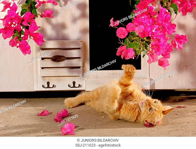 Domestic cat. Red-tabby juvenile (11 month old) playing with Bougainvillea flowers. Spain
