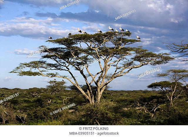 White-storks, tree, Ciconia alba