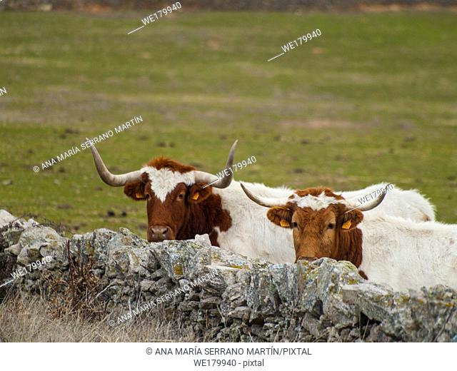 A cow of berrenda en colorado breed cows near a stone wall in the dehesa in Salamanca (Spain). Ecological extensive livestock concept