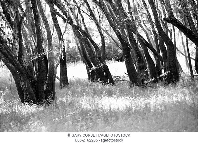A black and white abstract of light and shadow of bent trees in a forest