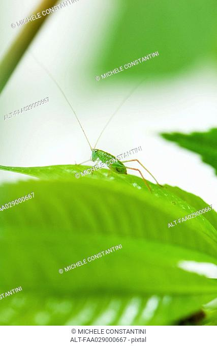 Katydid on green leaf, close-up