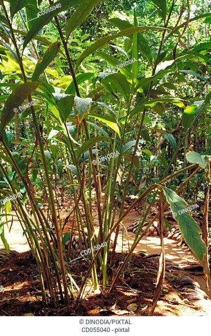Cardamom tree.Sri Lanka