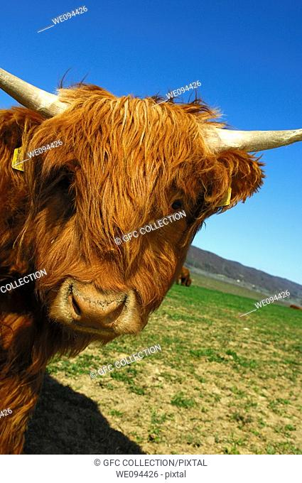 Youngster, red-brown Highland Cattle, Kyloe