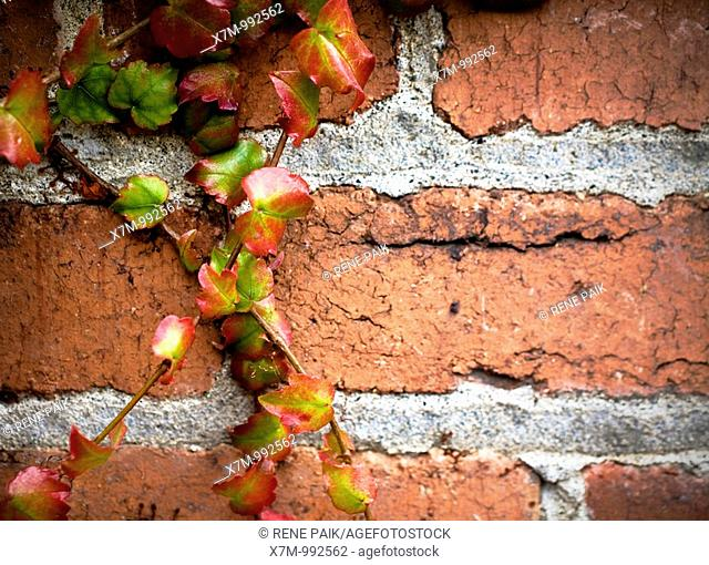 Colorful ivy clinging and crawling on a distressed brick wall