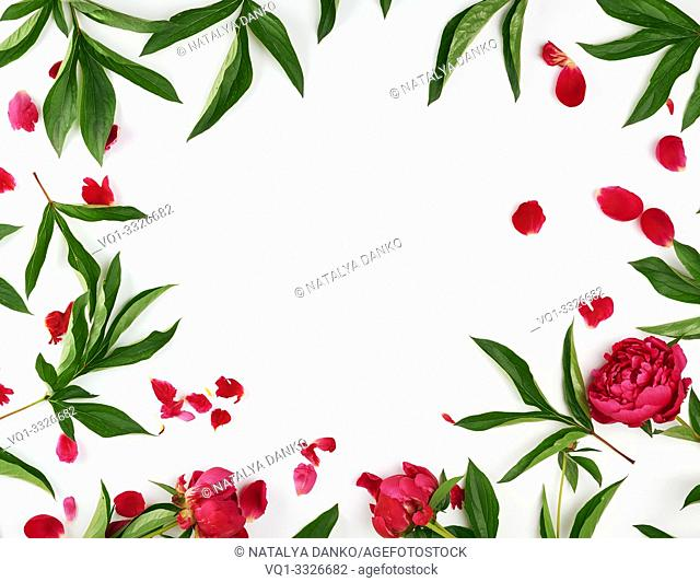 red blooming peonies with green leaves, petals on a white background, empty space in the middle, top view