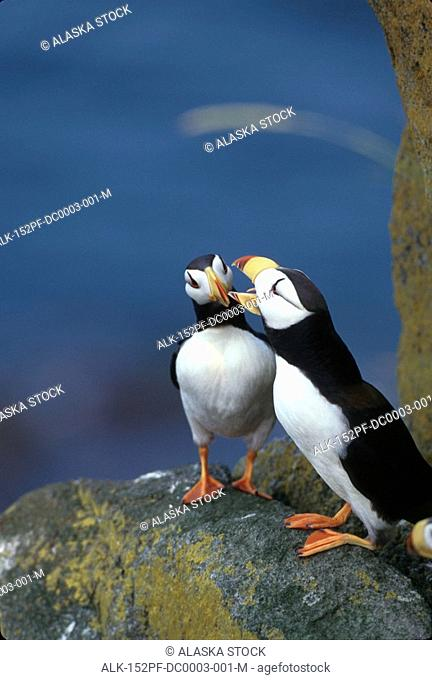 Horned Puffin perched on rock Round Island SW AK summer portrait
