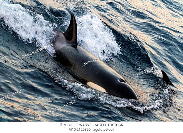 A California Transient Orca traveling in the San Pedro Channel off the coast of Long Beach and Catalina Island, California, USA