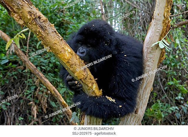 Mountain Gorilla (Gorilla beringei beringei). Adult eating while sitting in the fork of a tree. Volcanoes National Park, Rwanda