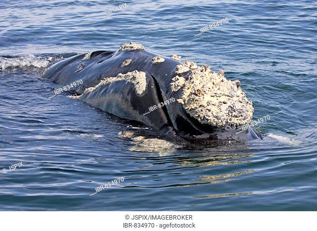 Southern Right Whale (Balaena glacialis) adult, swimming, head, Hermanus, South Africa, Africa