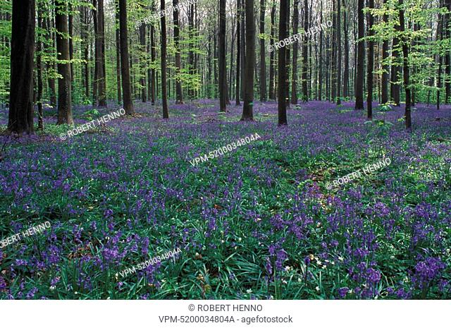 ENDYMION NON-SCRIPTUSBLUEBELL - WILD HYACINTHHALLE FOREST BELGIUM