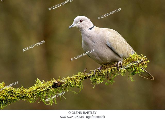 Eurasian Collared Dove (Streptopelia decaocto) perches on a mossy branch in Victoria, British Columbia, Canada