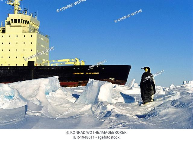 Emperor penguin (Aptenodytes forsteri), and Russian icebreaker, ice shelf, Weddell Sea, Antarctica