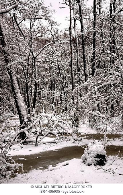 Winter in the alder forest, Ruegen island, Mecklenburg-Western Pomerania, Germany, Europe