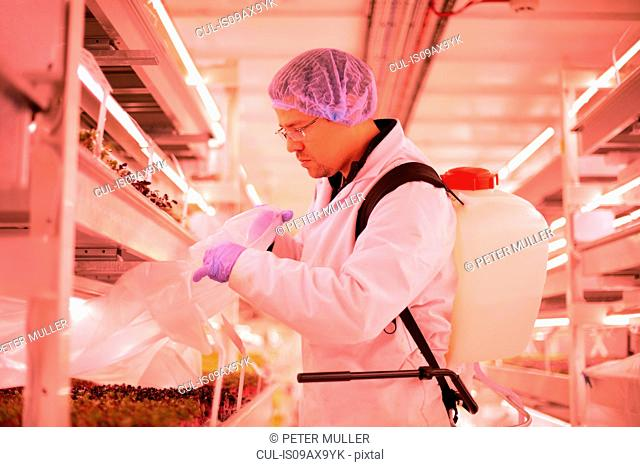 Male worker removing plastic from tray of micro greens in underground tunnel nursery, London, UK