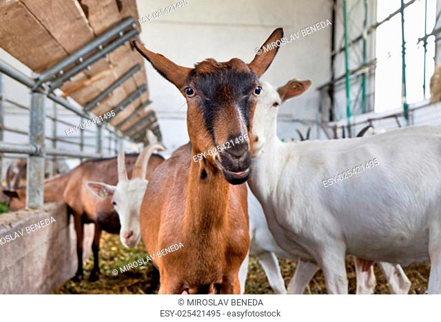 Brown goat in the herd on the farm looking into the camera