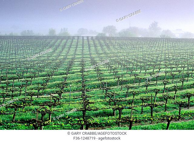 Morning fog over vineyard rows in spring, along Union Road, Paso Robles San Luis Obispo County, California