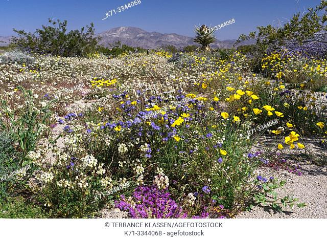 Spring wildflowers blooming in Joshua Tree National Park, California, USA