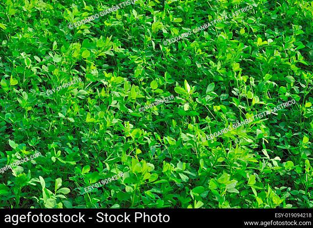 cloverleaf in field #1, emilia